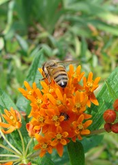 Honeybee on butterflyweed, plus another insect (Martin LaBar) Tags: macro insect southcarolina bee apocynaceae honeybee hymenoptera butterflyweed asclepiastuberosa pickenscounty