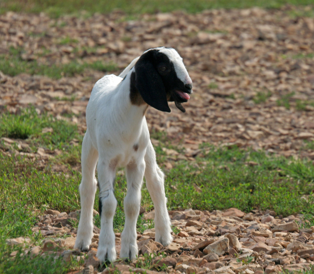 cute little white and black baby goat!!! -- animal photos!