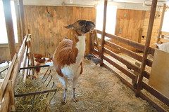 Llama in Llexington