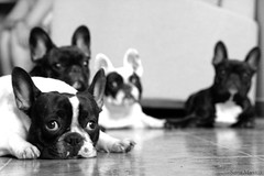 Cuatro ngeles  [  Four angels  ] (www.saramusico.com) Tags: bw four angeles 4 angels frenchie frenchbulldog salamanca bulldogfrances saramusico smushedfaceddog murcielaguillos cerditosvietnamitas