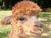 So close I can touch him (yogalady) Tags: vacation farm newhampshire lama excellence yougotit plus4 plus4excellence invitedphotosonlyplus4