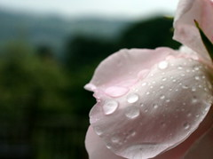Petals (Will Smith-Keegin) Tags: pink water rain rose landscape gloomy moo petal droplet raindrop shallowdof