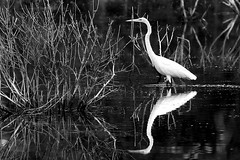 Snowy Egret (Sco C. Hansen) Tags: bw sc scott blackwhite d100 hansen beaufort stork shorebird lowcountry takeabow beaufortcounty scotthansen impressedbeauty superaplus aplusphoto diamondclassphotographer flickrphotoaward