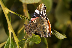 """Red Admiral Butterfly (Vanessa atala(22) • <a style=""""font-size:0.8em;"""" href=""""http://www.flickr.com/photos/57024565@N00/1331580012/"""" target=""""_blank"""">View on Flickr</a>"""