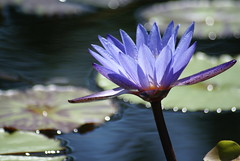Leaning Blue Water Lily (Bull Rider) Tags: blue flower pond waterlily lily mission sanjuancapistrano lilypond aplusphoto happinessconservancy crazyheart mygearandme mygearandmepremium mygearandmebronze mygearandmesilver flickrstruereflection1