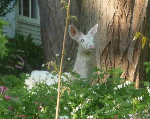 White deer in the yard