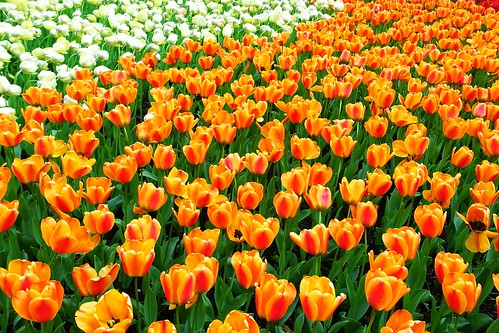 Keukenhof - Orange