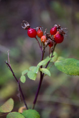 Squaw Currants Photo