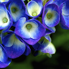Blue (shinichiro*) Tags: flower macro japan nikon order getty d200 crazyshin soe rf 2007 excellence aroundhome naturesfinest blueribbonwinner 60mmmicro flowerscolors superaplus aplusphoto wowiekazowie exp069103views11fave10g 20070607045 2009separt 2009separt01 90095086 order500