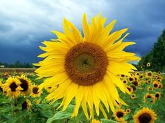 The One (Claude@Munich) Tags: flower macro field yellow contrast gelb sunflower kontrast coolest asteraceae sonnenblume excellence helianthus naturesfinest blueribbonwinner helianthusannuus claudemunich cotcpersonalfavorite colorphotoaward
