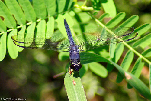 SloughDragonfly_20070621