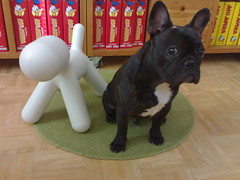 Puppies made in Finland (heidiana) Tags: dog cute male look bondi puppy french bulldog frenchie frenchbulldog brindle bulldogs franais fransk francais frenchies magis frenchbulldogs eeroaarnio bouledogue ranskanbulldoggi ranskis smushedfaceddog