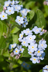 BT836 Forget-me-not (listentoreason) Tags: plant flower nature closeup canon dicot score35 ef28135mmf3556isusm