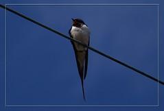 Bird on a wire (Kirsten M Lentoft) Tags: blue sky bird wire single swallow naturesfinest blueribbonwinner supershot anawesomeshot aplusphoto momse2600 kirstenmlentoft