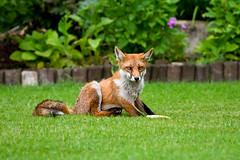Aren't I so damn cute ? Redux (muineach) Tags: morning ireland red nature animal garden play wildlife misc places fox stare predator threat hunt prowl redfox vulpesvulpes meath vulpes muineach smallpredator