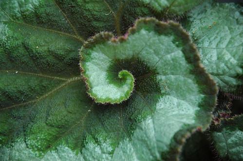 Detail, Rex Begonia Leaf