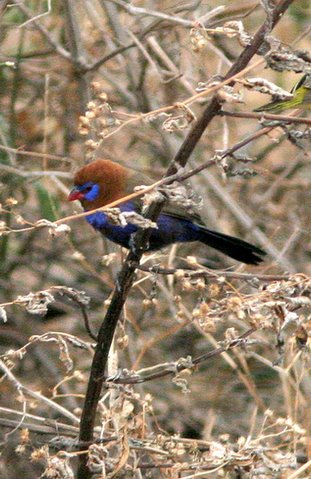 red-headed cordon bleu in acacia
