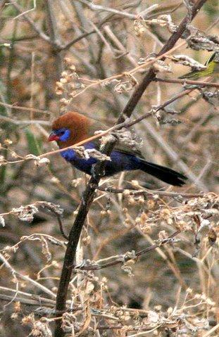 red-headed cordon bleu in acacia