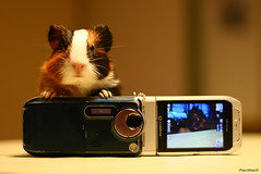 A little photographer (Pacifist) Tags: baby cute animals guinea pig guineapig cavies photographer cavie ef50mm118ii  canon400d aplusphoto kuuchan pichiku
