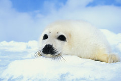 CB030738 (babsbluedog) Tags: snow cute love animals outdoors photography pups colorphotography nobody just pinnipeds seals mammals arcticcircle seamammals babyanimals phoca babymammals younganimals harpseals i