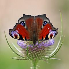 Peacock butterfly (Leo Reynolds) Tags: animal fauna canon butterfly insect eos iso100 300mm f56 30d scoutleol30 0ev 0008sec canonef70300mmf456isusm hpexif leol30random groupallanimals grouputata scoutleol30set xepx xsquarex xexflx xscoutx xexplorex xxblurbbookxx xxblurbbookcoffeetablexx xleol30x xxplorstatsx xxx2007xxx xratio1x1x