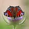 Peacock butterfly (Leo Reynolds) Tags: animal fauna butterfly insect leol30random scoutleol30 canonef70300mmf456isusm groupallanimals scoutleol30set canon eos 30d 0008sec f56 iso100 300mm 0ev xepx grouputata xexflx xexplorex xscoutx xxblurbbookxx xxblurbbookcoffeetablexx xleol30x xxplorstatsx hpexif xratio1x1x xsquarex xx2007xx