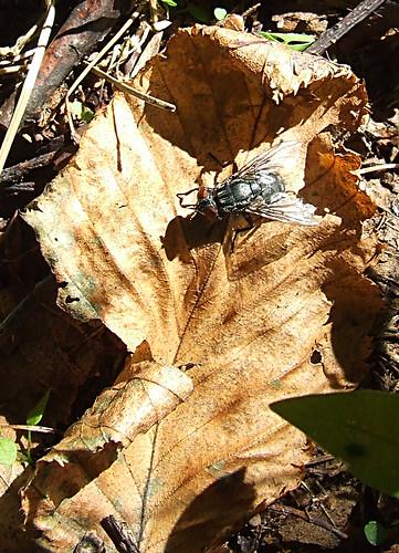 birch leaf with fly