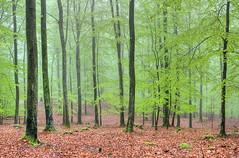 Beech forest (Lars L. Iversen) Tags: forest hdr beech fagus sylvatica linderödsåsen