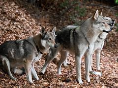 Czechoslovakian Wolf Dogs / Tschechoslowakisch...