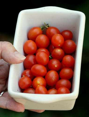 tomato cheesemannii