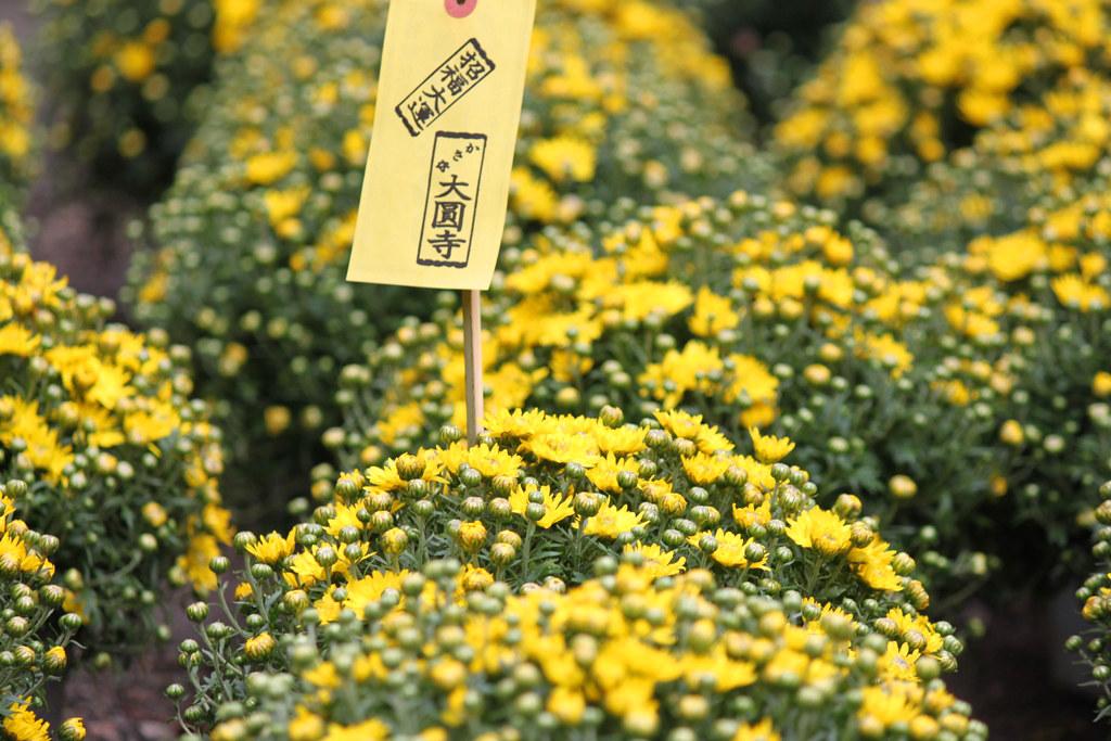 Yanaka Chrysanthemum Festival (7)