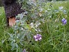 طراوتی که برگ ها رو زنده کرد برای گل ها عاقبت خوشی نداشت (shadi13se) Tags: ، باران پاییز سبزه چمن شبنم یهار