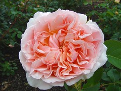 Rose Filled To The Brim (+David+) Tags: pink rose rochesterny maplewoodrosegarden municipalgardens