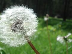 A dandelion. (fatmantrio) Tags: cabin helena helenamontana