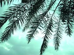 PALM (radiant guy) Tags: sky tree leaf palm leafs