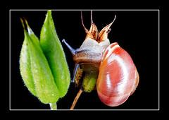Snail (strussler) Tags: macro canon eos 50mm snail sigma 5d ringflash starblitz naturesfinest abigfave impressedbeauty strussler