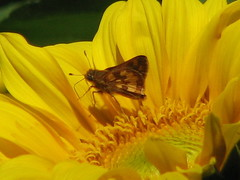 Skipper on sunflower