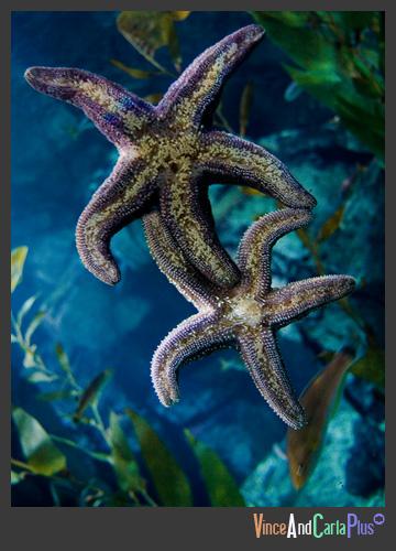 starfish2