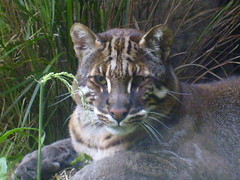 temminck's or asiatic golden cat, (The Mucker) Tags: cat zoo scotland big edinburgh