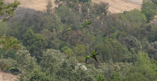 parrots in flight