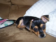 Ain't I precious? (bonkrood) Tags: puppy jinx chorkie