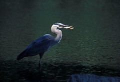 Time for lunch (Mountain View Photography) Tags: fish bird heron pond specnature