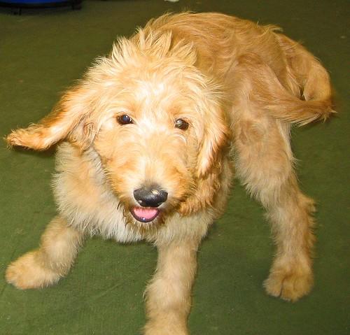 goldendoodle puppy. Golden Doodle puppy