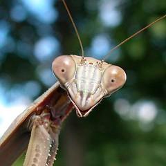 DSCN4364 Mantis Looking (archive)