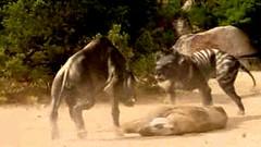 14 entelodon kicks hyenodon ass