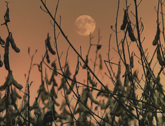 harvest moon (joiseyshowaa) Tags: sunset moon field neck evening newjersey twilight weeds dusk farm contest group mother nj resort shore winner jersey colts jerseyshore challenge pinnacle naturesfinest bigmomma blueribbonwinner coltsneck diamondclassphotographer joiseyshowaa thepinnaclehof tphofweek13 joiseyshowa