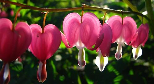 Bleeding heart by pollyalida, on Flickr