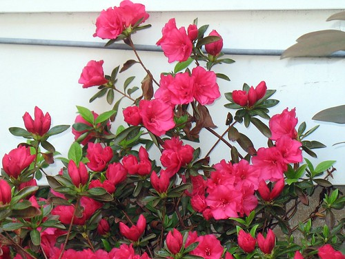 Red Azaleas Against the House