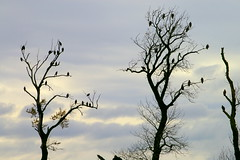 "Eagles in the Spirit Trees of the Chehalis FRS • <a style=""font-size:0.8em;"" href=""http://www.flickr.com/photos/51193137@N08/4721913905/"" target=""_blank"">View on Flickr</a>"