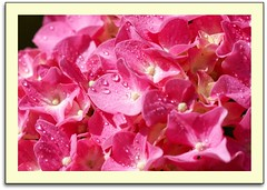 Pretty In Pink (scrapping61) Tags: california pink macro water america droplets pyramid hydrangea mygarden legacy netart 2010 tistheseason ourtime swp haveagreatday objectiveart goldengallery anawesomeshot citrit finestnature yourpreferredpicture scrapping61 allkindsofbeauty mastersoflight tobestill ilikethenature daarklands mamasbloomers legacyexcellence trolledproud crazygeniuses richardsflorafauna artnetcomtemporary natureskingdom pinnaclephotography